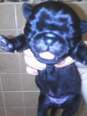 Мопс щенки чёрного и бежевого окраса