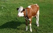Закупаем,  молодняк крс, (бычки,  тёлочки) 50-150 кг.